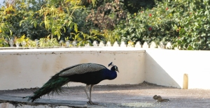 Peacock at Bada Mahal
